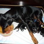 Geeva mit ihren 1 Tag alten Welpen, hat großen Hunger ;-)
