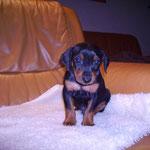 Rüde blau (Akani), 5 Wochen alt.