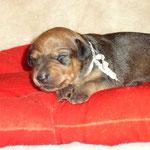 Rüde beige, 2 Wochen alt