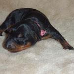 Die erstgeborene. Hündin (rosa Band) am 06.10.2010, 1 Woche alt.