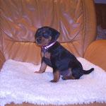 Hündin rosa (Alexa), 5 Wochen alt.