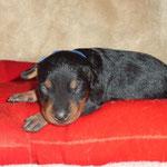 Rüde hellblau, 2 Wochen alt