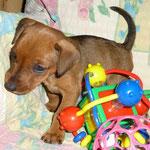 Hündin (schwarzes Bändchen) 5 Wochen alt ;-)