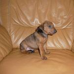 Rüde schwarzes B.  4 Wochen alt.