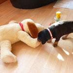 """Hündin rosa beschnuppert den """"komischen"""" Hund."""
