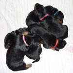 """Alle 5 (1 Woche alt) kuscheln sich, zu einem """"Hundehaufen""""  !"""
