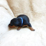 Rüde blaues Band, 3 Wochen alt