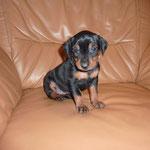Hündin rosa B.  (Black Bonita) 4 Wochen alt
