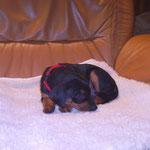 Hündin rot (Akira), 5 Wochen alt.