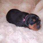 Hündin rosa, zwei Wochen alt.