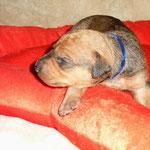 Rüde blau, 2 Wochen alt