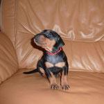 Hündin s/r rotes B. (Bella-Donna) 4 Wochen alt