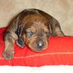 Rüde schwarz, 2 Wochen alt