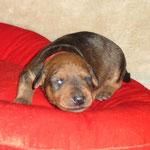 Rüde rot, 2 Wochen alt