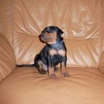 Rüde blaues B. (Black Jack), 4 Wochen alt