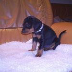 Hündin weiß (Aika), 5 Wochen alt.