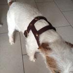 Hirschleder Geschirr für Parson Russell Terrier mit Messingnietzen