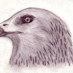 Adler (Bleistiftzeichnung)