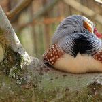 Soooo müde (Zebrafink)