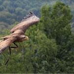 Frei wie ein Adler (Adlerwarte Berlebeck)