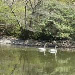白鳥が2羽