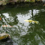 14:38 色々な種類の鯉がいます