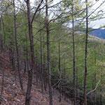 樹木は山火事の後に植林したので若い