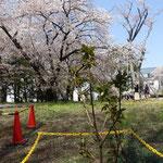 手前の小さい木は御衣黄の苗、何年後に花が見えるかな