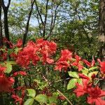 ヤマツツジが咲く中沢山で昼食