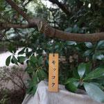 モッコクが入口付近に一杯植えられています