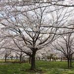 とにかく桜が多い