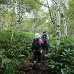 白樺林の中を歩く