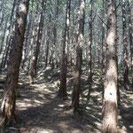 暗い檜林を歩く