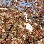 シラサギその② 桜の木に飛乗ったのだ