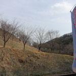 虎山の千本桜だが、今は寂しい