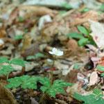 ニリンソウは残念ながら全滅、登山路の横にぽつぽつ
