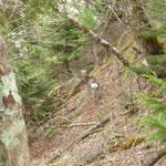 14」28白岩山近辺に生息している鹿