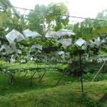 栃木はブドウ栽培も盛ん