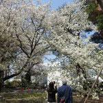 桜は地面すれすれまではなびらが