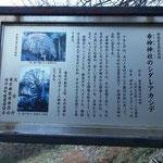 シダレアカシデは天然記念物