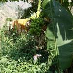 27日 バナナも実がなってます