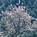 謎の木は桐の木でした