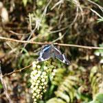 キブシに蝶がとまっていました