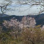 山桜も満開