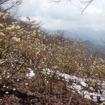 11:04 山頂のミツマタは満開で甘い匂いがただよっていました