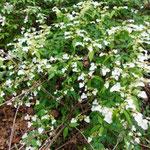 この白い花はガクウツギ