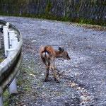 14:25 小鹿が林道に、親にはぐれたのか