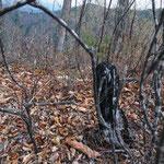 山火事の跡、炭化してる樹木