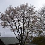 12:24 大きな山桜