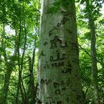 登山道の脇のブナの木は落書きだらけ